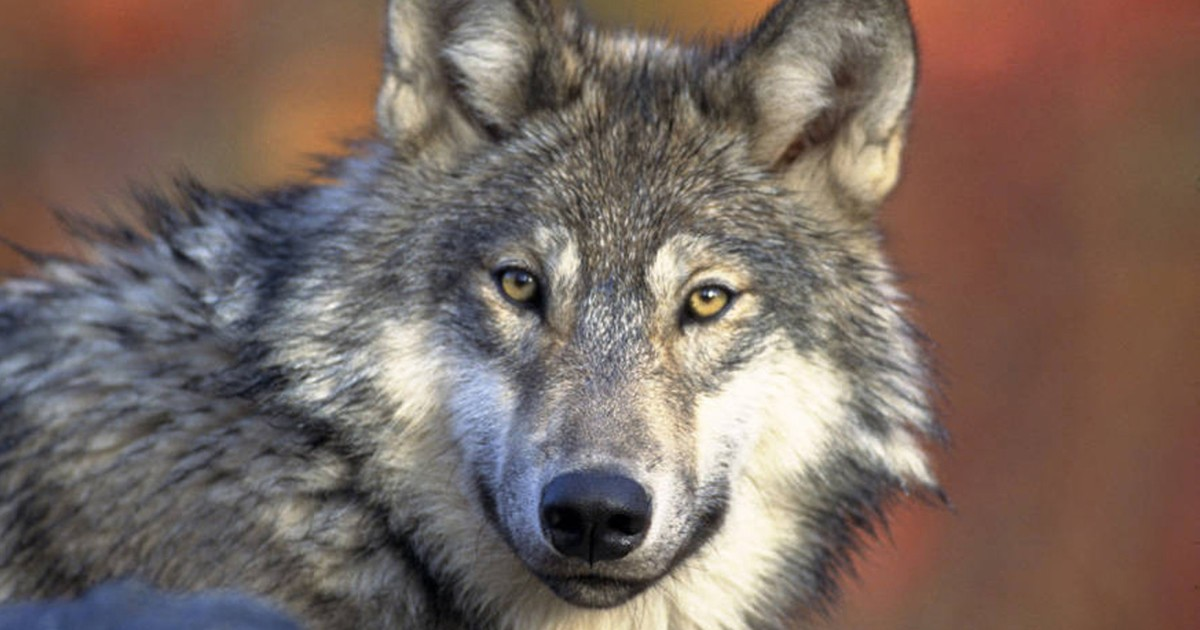 """Trump administration to drop gray wolf from """"endangered"""" list"""