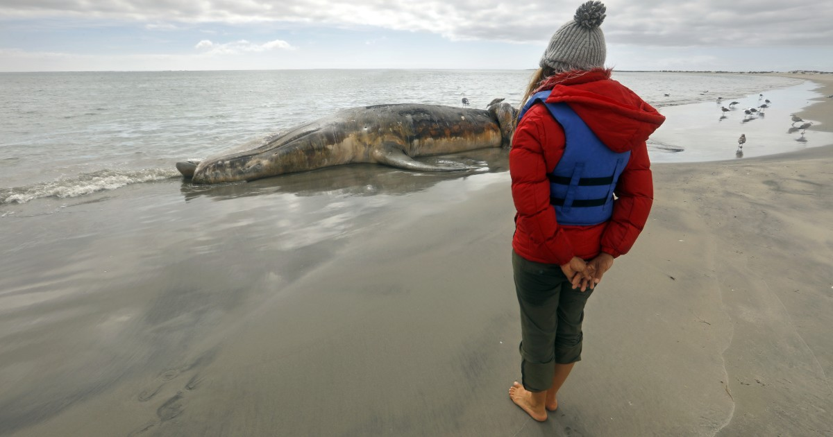 Gray whales die in record numbers — and no one knows why