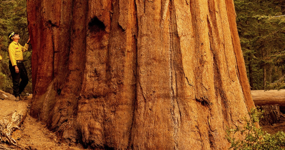 Fire tactics: How blankets, controlled burns save sequoias
